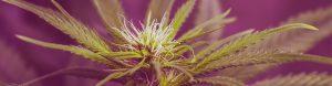 Vertical Farming: Die Hanfpflanze im perfekten Licht
